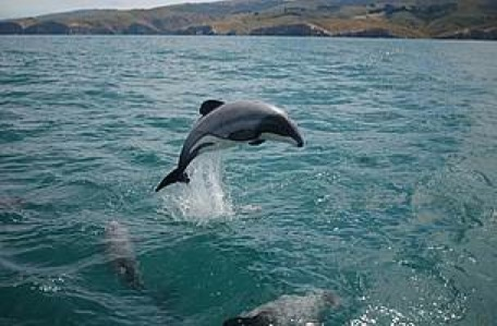 maui_s_dolphin__c__will_rayment_10875