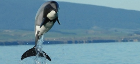 Project Jonah Take Action Hector and Maui Dolphins
